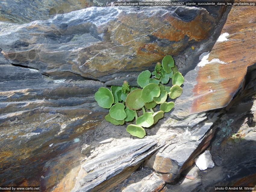 plante succulente dans les phyllades tour du cap sici avril 2010. Black Bedroom Furniture Sets. Home Design Ideas