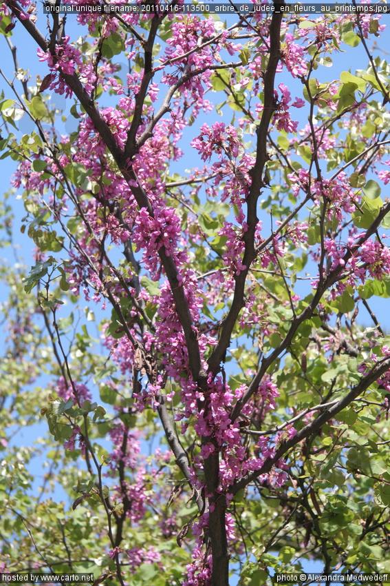 arbre de jud e en fleurs au printemps la cath drale russe saint nicolas nice et les chocolats. Black Bedroom Furniture Sets. Home Design Ideas