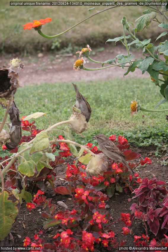 Moineaux piquant des graines de tournesol au jardin des for Graine de jardin