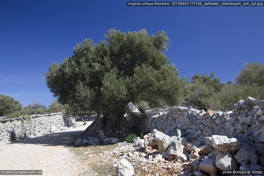 ltester olivenbaum von lun wanderung von tovarnele durch. Black Bedroom Furniture Sets. Home Design Ideas